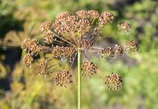 Fänkålblomningar Fänkålblommor Fänkålfrö Krydda för mat Fänkål i en trädgård arkivbild