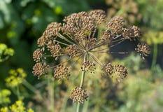 Fänkålblomningar Fänkålblommor fennel kärnar ur Krydda för mat Fänkål i en trädgård royaltyfri foto
