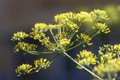 Fänkålfrö och blomma Arkivfoton