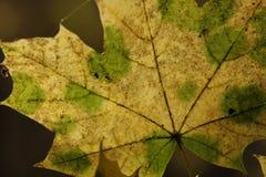 Färben Sie Ahornblatt mit grünen Punkten gelb stockfotos