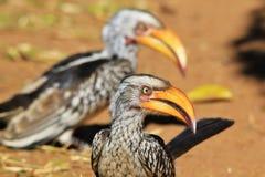 Färben Sie berechnete Horn-Rechnung - wilden Vogel-Hintergrund - Fokus gelb Lizenzfreie Stockbilder