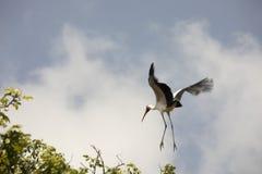 Färben Sie berechneten Storch im Flug, Nationalpark See Manyara, Tanza gelb lizenzfreies stockfoto