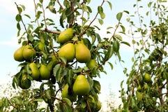 Färben Sie Birnen auf Birnenbaum gelb Stockbild