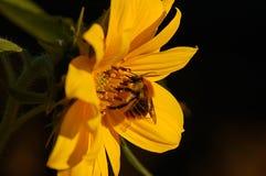 Färben Sie Blüte mit Insekt gelb Lizenzfreies Stockfoto