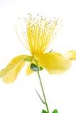 Färben Sie Blume gelb Lizenzfreies Stockbild