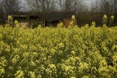 Färben Sie Blumen in der Blüte gelb Lizenzfreie Stockfotografie