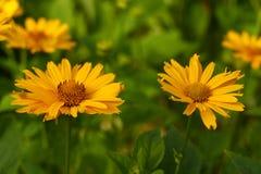 Färben Sie Blumen gelb Stockbilder