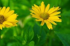 Färben Sie Blumen gelb Stockfotografie