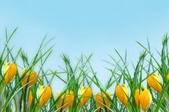 Färben Sie Blumenkrokusrand gelb Lizenzfreie Stockbilder