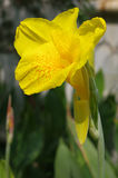 Färben Sie Cannaceaeblume gelb Stockbild