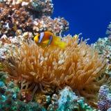 Färben Sie die weiß-gestreiften Clownfische gelb, die zwischen dem tentacl der Anemone sich verstecken Lizenzfreie Stockfotos