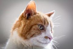 Färben Sie einen weißen Katzenkopfschuß gelb Stockbild