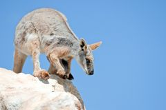 Färben Sie füßigen Felsen Wallaby gelb Stockfotos