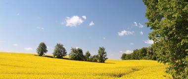 Färben Sie Feldraps in der Blüte mit blauem Himmel gelb Lizenzfreies Stockbild