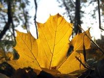 Färben Sie gefallenes Blatt aus den Herbstwaldgrund gelb Lizenzfreie Stockfotos