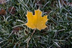 Färben Sie gefallenes Blatt im grünen Gras und im Reif gelb stockfotos