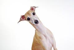 Färben Sie italienischen Windhund gelb Stockbild