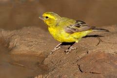 Färben Sie Kanarienvogel gelb lizenzfreie stockfotos