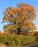 Färben Sie Krone eines großen Baums im Himmel gelb lizenzfreies stockfoto