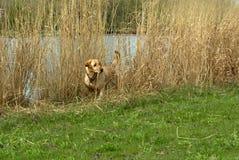 Färben Sie Labrador-Apportierhund gelb Stockfotos