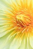 Färben Sie Lilie gelb Lizenzfreie Stockfotos
