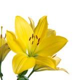 Färben Sie Lilie gelb Stockfotos