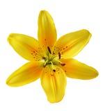 Färben Sie Lilie gelb Stockfoto
