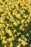 Färben Sie Narzissen gelb Stockbilder
