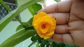 Färben Sie Rosafarbenes gelb Stockfotografie