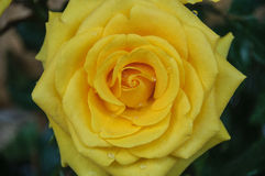 Färben Sie Rosafarbenes gelb Stockfotos