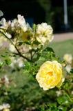 Färben Sie Rosafarbenes gelb Stockfoto
