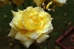 Färben Sie Rosafarbenes gelb Lizenzfreies Stockbild