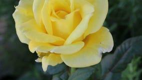 Färben Sie Rosafarbenes gelb stock video footage