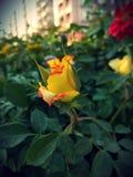 Färben Sie Rosafarbenes gelb Stockbilder