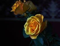 Färben Sie Rosafarbenes gelb Knospe, Blumenblätter, Blumenstrauß Lizenzfreies Stockfoto