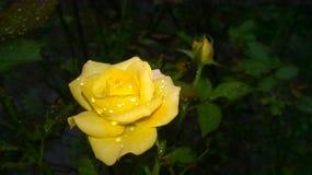 Färben Sie Rosafarbenes mit Wassertropfen gelb Lizenzfreies Stockfoto