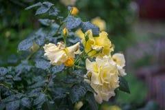 Färben Sie Rosafarbenes mit Wassertropfen gelb Stockbilder
