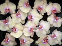 Färben Sie sich mit purpurrotem Orchideenblumenmuster auf schwarzem Hintergrund gelb Stockfotos