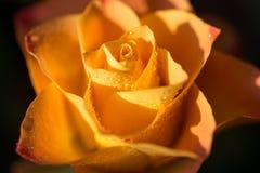 Färben Sie sich mit rosafarbener Blume der Orange mit Tau, Abschluss oben gelb Stockfotos