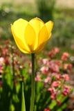 Färben Sie Tulpe-Blüte gelb Lizenzfreies Stockfoto
