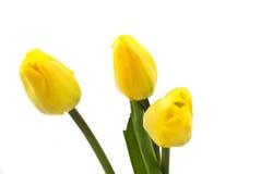 Färben Sie Tulpen gelb Lizenzfreies Stockbild
