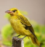 Färben Sie Vogelportrait gelb Stockfotos