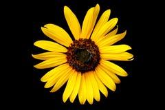 Färben Sie Wildflower gelb Stockfotos