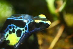 Färbender Giftpfeilfrosch lizenzfreie stockbilder