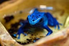 Färbendes blaues Sterblich des Giftfrosches Lizenzfreie Stockfotos