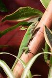 Färdig gecko Arkivfoton