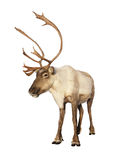 färdig isolerad ren för caribou Arkivfoton