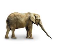 Avsluta elefanten på vit Arkivbild