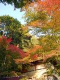 Färg av lönnträd royaltyfria foton