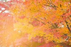 Färg för höstsäsong för lönnträd åtskillig royaltyfria foton